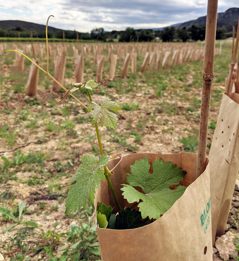 Chenin blanc shoot growing out of the top of the vine guard