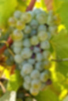 Sauvignon blanc grape cluster