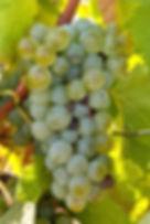Sauvignon blanc grape cluster