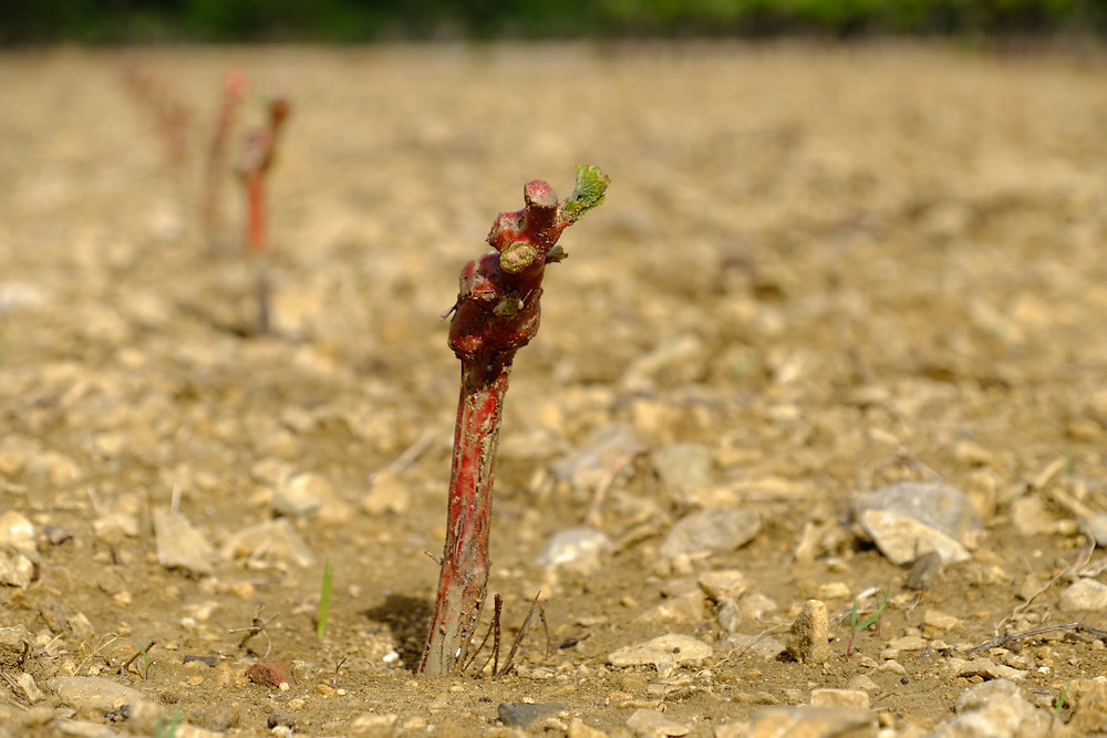 A small green shoot appears on the newly planted vine