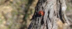 Lady bird beetle on vine cordon