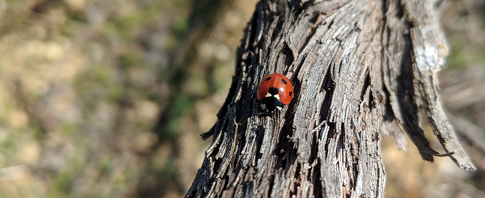 Lady bird beetle on vine cordon