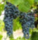 Cabernet Sauvignon grape cluster