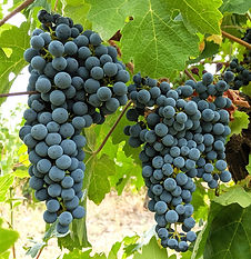 Cabernet Sauvignon grape cluster