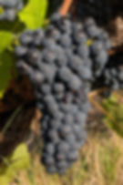 Syrah grape cluster