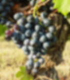 Aramon grape cluster