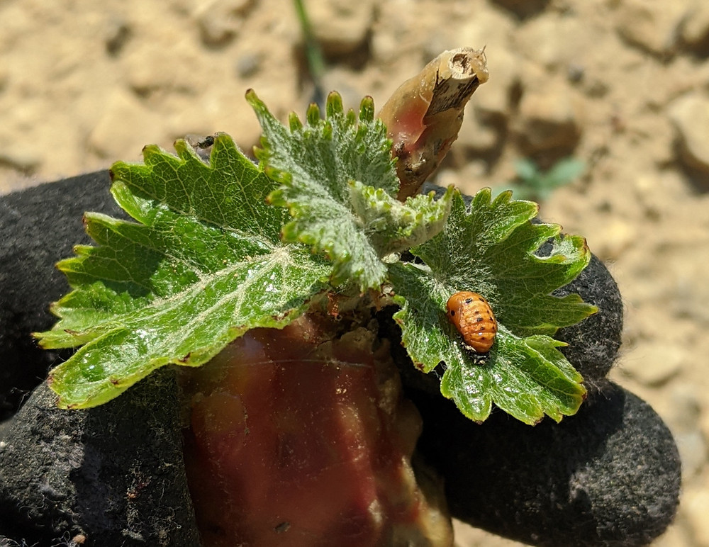 Young vine leaves, showing a ladybird beetle larva on one.