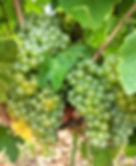Marsanne grape cluster