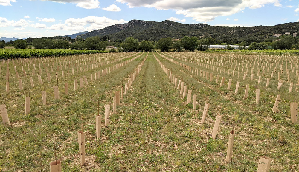 Bamboo stakes and a paper vine guard placed at each vine