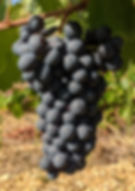 Cinsault grape cluster
