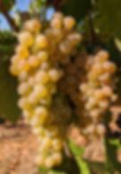 Vermentino grape cluster