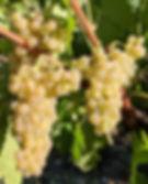 Ugni Blanc grape cluster