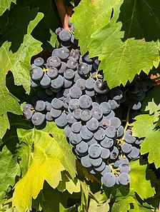 Carignan grape cluster