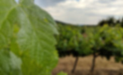 Grapevine Leaf on a Cloudy day