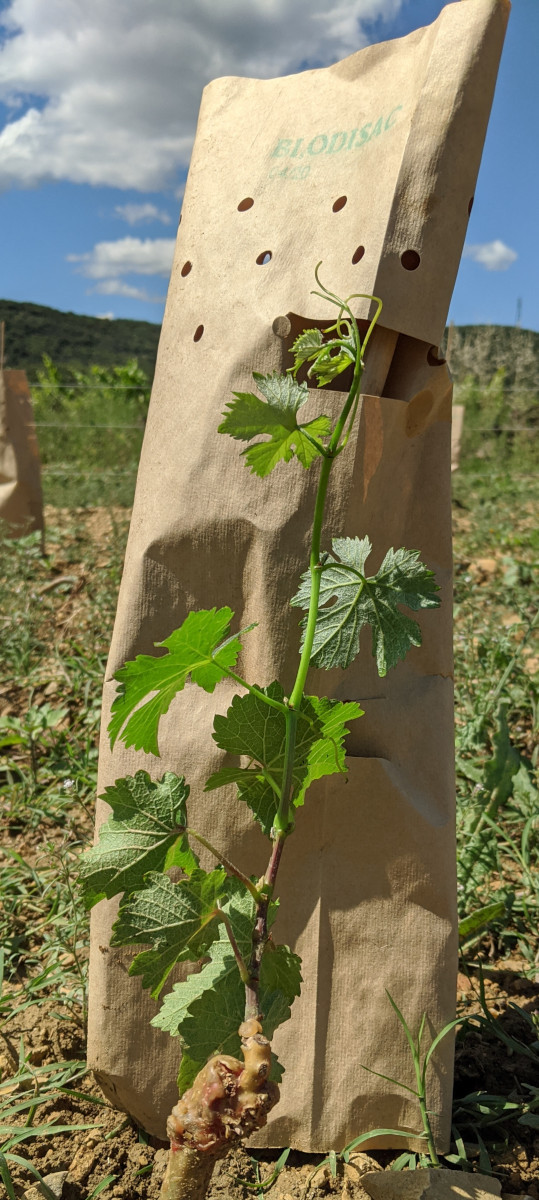 A vine guard removed to show the different rates of growth before and after the vine guard was put on