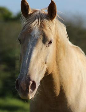 quarter horse gold crème champagne