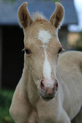 Steady O liria MH West Ranch, Quarter Horse palomino a vendre