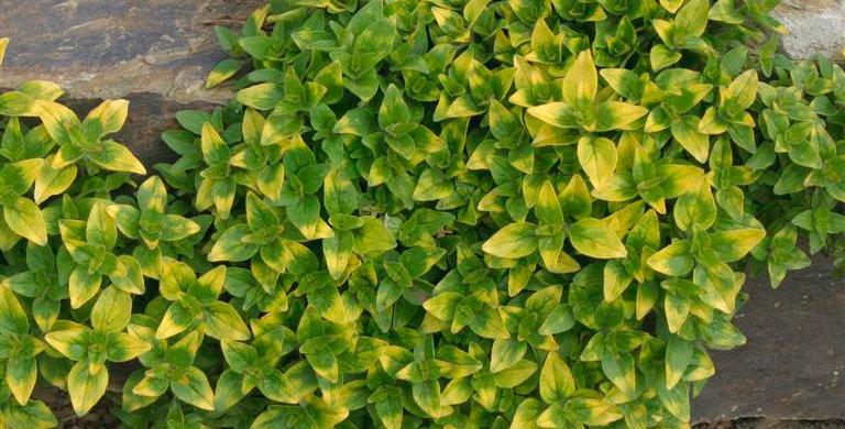 Origanum vulgare 'Gold Tip'