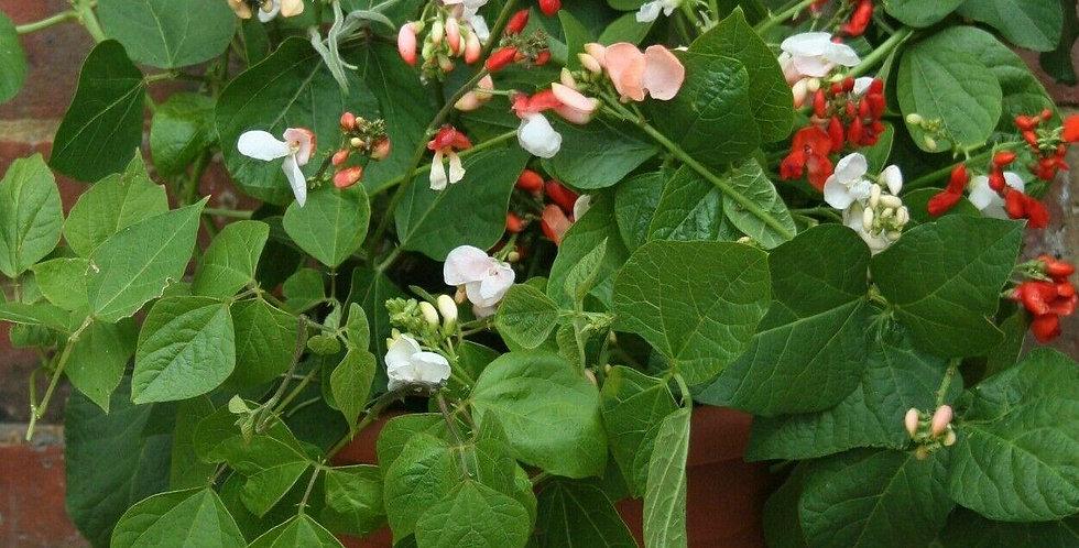 Runner Bean 'Jackpot' - 5 plug plants