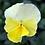 Thumbnail: Victorian Viola'Winnie'