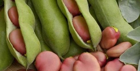 Broad Bean 'Karmazyn'  - 5 plug plants