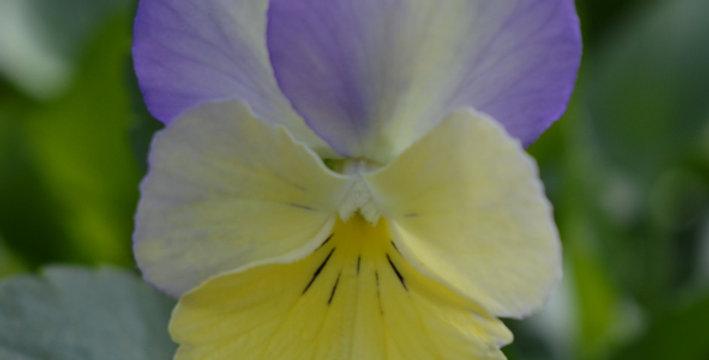 Victorian Viola'Hannah May'