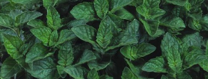 Mentha x piperita f. citrata 'Grapefruit'