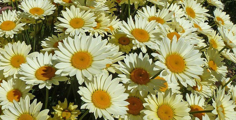 Anthemis tinctoria 'Lemon Ice'