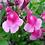 Thumbnail: Salvia greggii 'Icing Sugar'    PBR