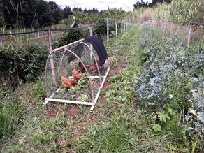 Controle de caramujos com o uso de galinhas caipiras