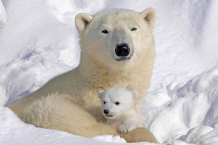 Mommy-and-Cub-polar-bears-12265191-900-600.jpg