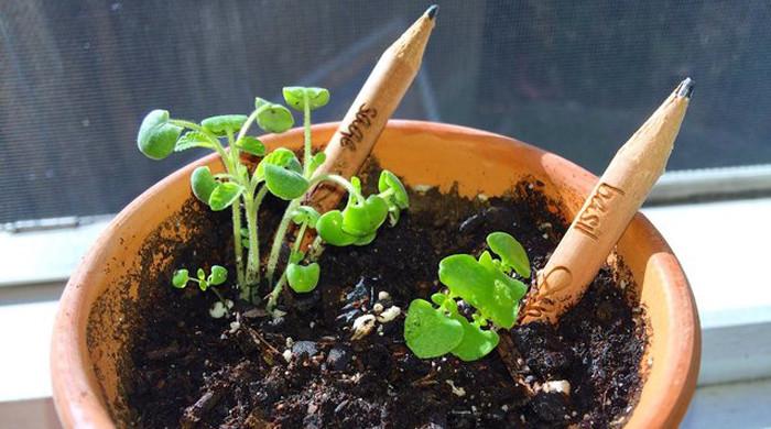 lapiz germinar sprout planta semilla (2).jpg