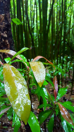 Invasive Ardisia shrub in Hawaii