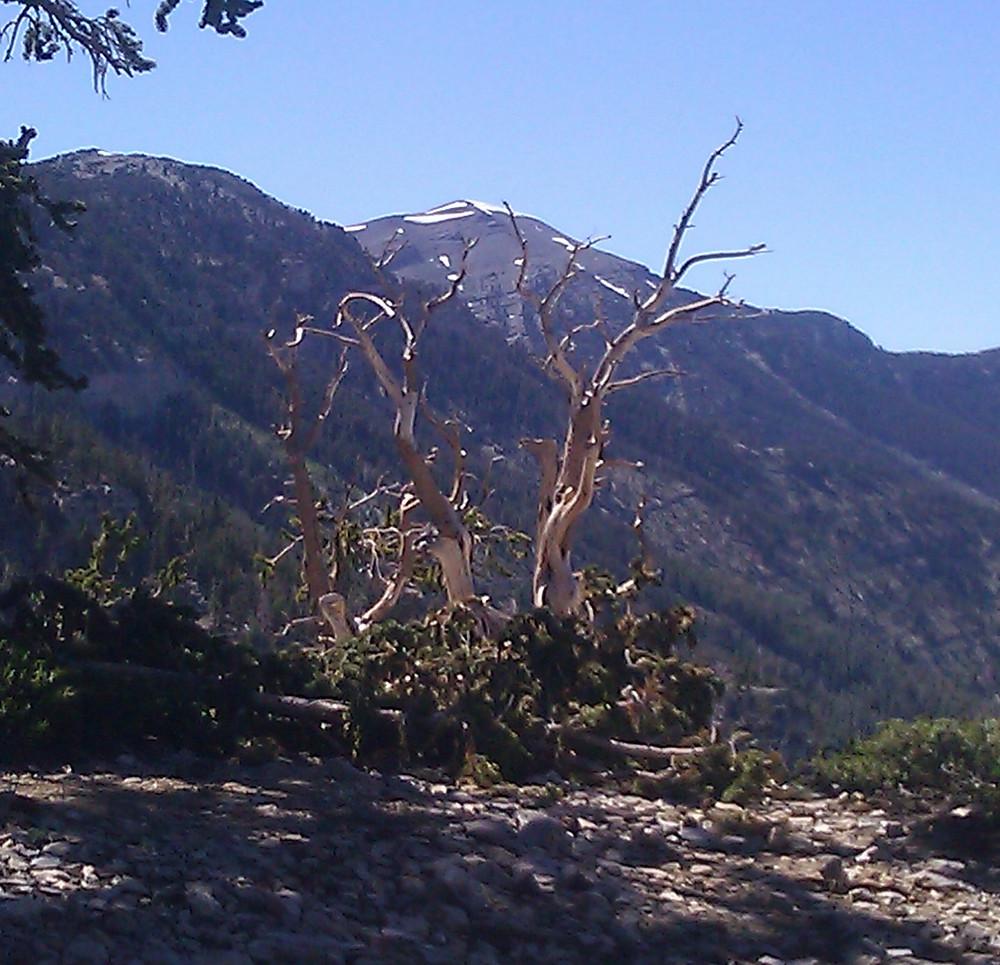 wind-blown pine tree in front of snowy peak