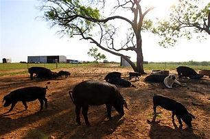 south_texas_heritage_pork_farm.jfif