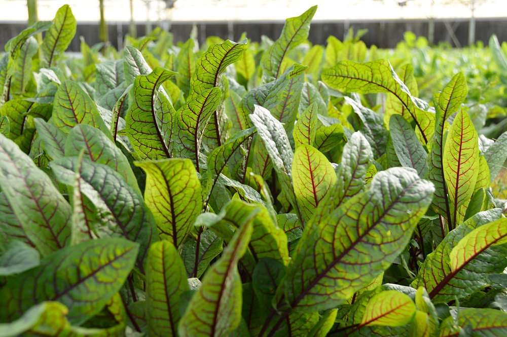 Sorrel grows well in deep winter in the MFF greenhouses