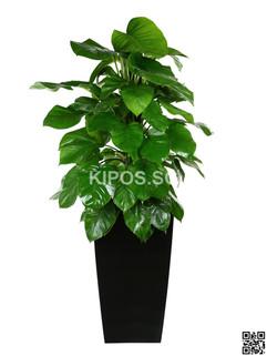 Money Plant Rental