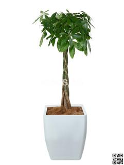 Pachira Plant Rental