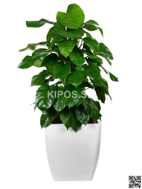 Money Plant Rental