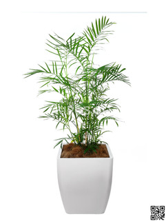 Bamboo Plant Rental