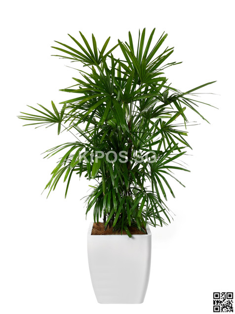Rhaphis Plant Rental