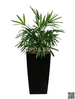Rhapis Plant Rental