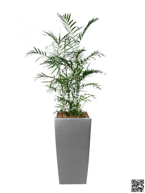 Bamboo Plant Rental