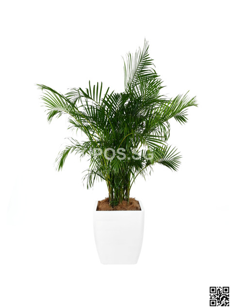 Yellow Palm Plant Rental