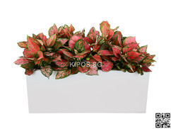 Pink Algaonema Plant Rental
