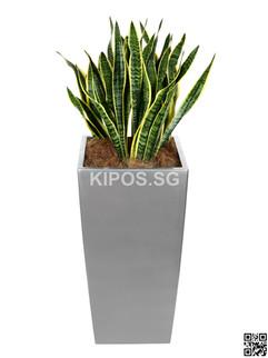 Sansevieria Plant Rental