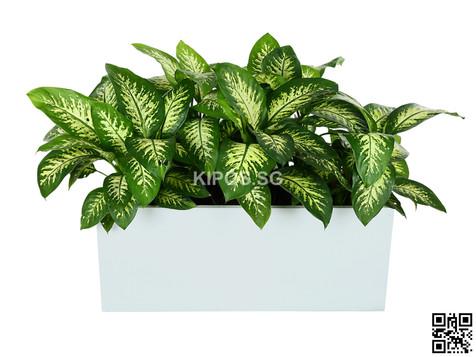 Dieffenbachia Plant Rental