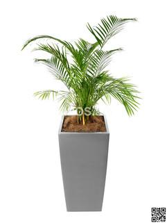 Yellow Palm Plant Rental
