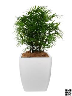 Rhaphis Multifida Plant Rental