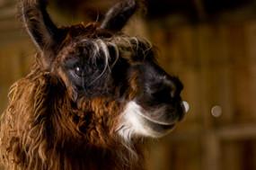 Llama Breeder